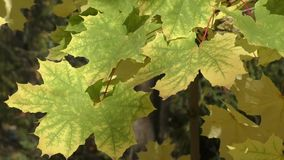 Maple leaves in autumn stock video