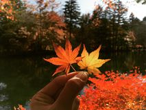 Maple leaves. Autumn. Royalty Free Stock Photos