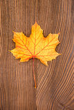 Maple leaves. Stock Photos