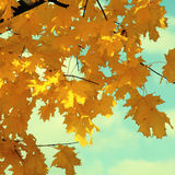 Maple leaves in autumn Stock Photography