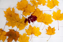 Maple leaves autumn yellow paint Stock Photo