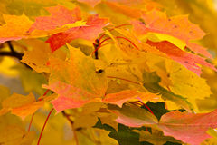 Maple leaves background Royalty Free Stock Images