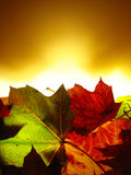 Maple leaves background Stock Image