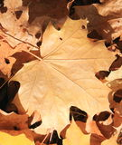 Maple leaves background. Close-up Royalty Free Stock Image