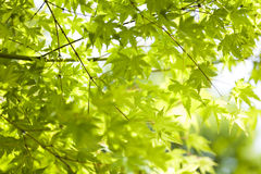 Maple leaves background. In botany, a leaf is an above-ground plant organ specialized for photosynthesis. For this purpose, a leaf is typically flat (laminar) Royalty Free Stock Image