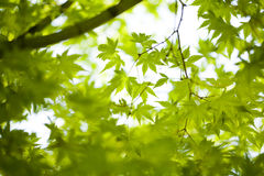 Maple leaves background. In botany, a leaf is an above-ground plant organ specialized for photosynthesis. For this purpose, a leaf is typically flat (laminar) Royalty Free Stock Photo