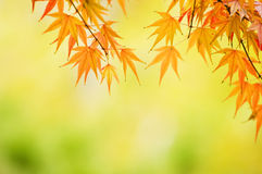 Maple leaves background Stock Photos