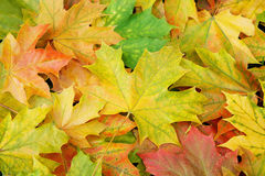 Maple leaves background. Autumn Maple leaves background. Multicolored maple leaves lying on the ground Stock Photography