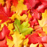 Maple leaves background. Colored autumn leafs. Royalty Free Stock Image