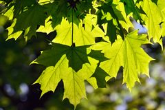 Maple leaves backlit Royalty Free Stock Photo