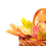 Maple leaves in basket Royalty Free Stock Photos