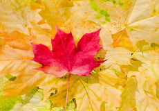 Maple leaves in beautiful autumn colours Stock Images