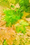 Maple leaves in beautiful autumn colours. Maple leaves in paints of  beautiful autumn Royalty Free Stock Photos