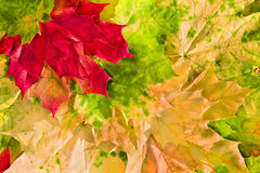 Maple leaves in beautiful autumn colours. Maple leaves in paints of  beautiful autumn Royalty Free Stock Image