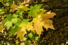 Maple Leaves Changing Color Stock Photos