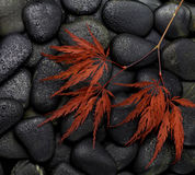Maple leaves on black stones Stock Image