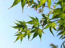 Maple leaves & blue sky. A shot of some beautiful leaves of a maple tree Royalty Free Stock Image