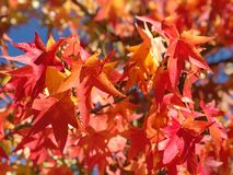 Maple leaves blue sky Autumn nature background. Maple leaves with blue sky. Autumn nature background stock photography