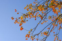 Maple leaves and blue sky background. At Doi Ang Khang, Chiangmai, Thailand Royalty Free Stock Images