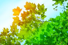 Maple leaves on the blue sky background. Sunlight shines through the leaves Stock Images