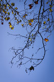 Maple leaves with blue sky at Grampians national park, autumn Australia Stock Photo