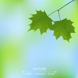 Maple leaves on a blurred background Stock Image