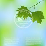 Maple leaves on a blurred background. Royalty Free Stock Images