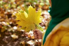 Maple leaves bouquet. stock images