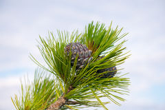 Pine cones on a branch  Royalty Free Stock Photo
