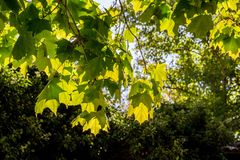 Maple leaves in bright sun. NBakhchysarai, Crimea royalty free stock image