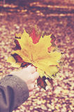 Maple leaves bunch in woman's hand Stock Photo