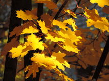 Maple. Maple leaves are burning in the sun Stock Images