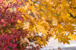 Maple leaves changing color Stock Image