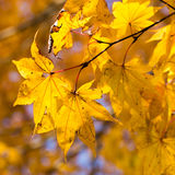 Maple leaves changing color Royalty Free Stock Photography