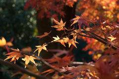 Maple leaves changing color in fall, Kinkakuji temple, Kyoto, Japan Stock Photography