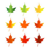 Maple leaves changing color Royalty Free Stock Images