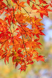 Maple Leaves Changing Colors in the Autumn time Royalty Free Stock Images