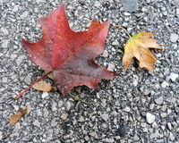 Maple Leaves Changing Colors on Sidewalk Stock Photos