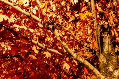 Maple leaves changing colour in Irish Park, Toronto Ontario, Can royalty free stock photography