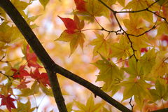 Maple leaves are changing their colour. Green maple leaves are turning to red Royalty Free Stock Photography
