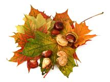 Maple leaves and chestnuts #2 Stock Image