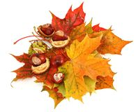 Maple leaves and chestnuts Royalty Free Stock Photos