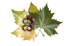 Maple leaves with chestnuts. Autumn maple leaves with chestnuts (isolated Stock Photos
