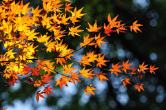 Maple leaves close stock image