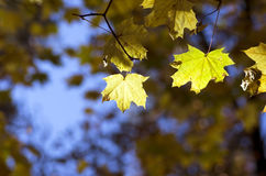 Maple leaves close up Stock Photo
