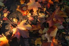 Maple leaves close up. Colorful maple leaves illuminated by the sun lie on the ground stock photo
