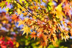 Maple leaves closeup in autumn. Autumn concept background material royalty free stock photo