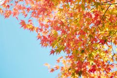 Maple leaves closeup in autumn. Autumn concept background material stock photos