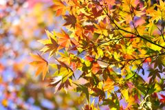 Maple leaves closeup in autumn. Autumn concept background material stock images
