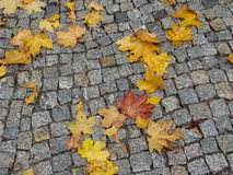 Maple leaves on cobblestone pavement Stock Photos